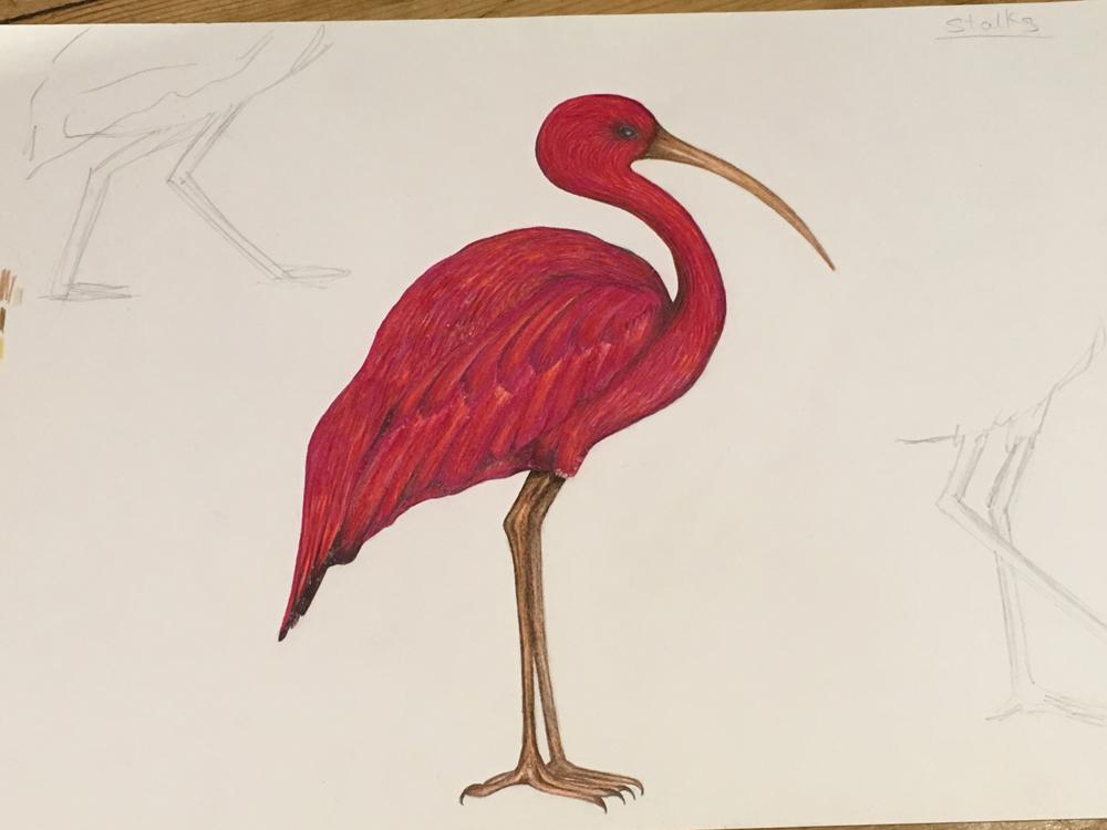 Standing Ibis